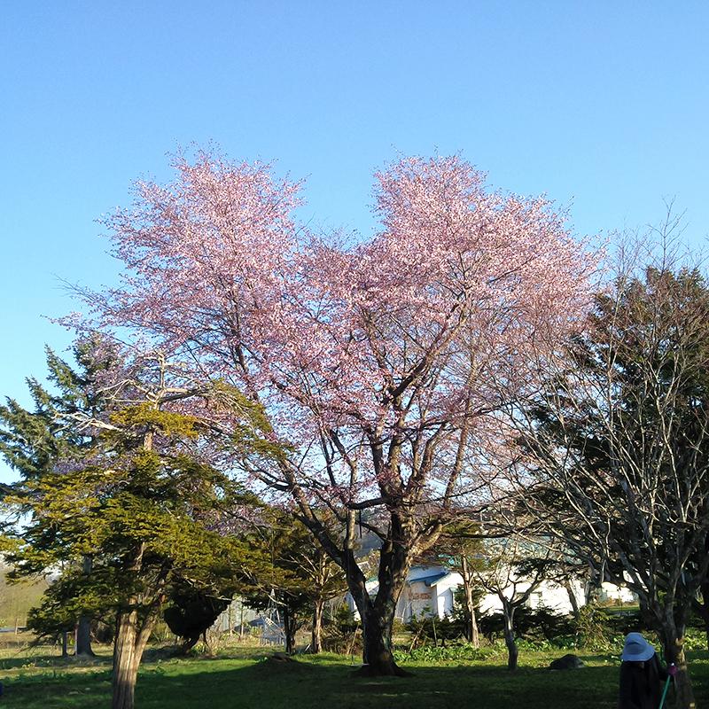 やっと桜満開 & 春仕事 & オーダ品